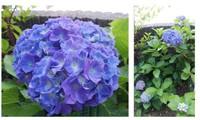 紫陽花綺麗です(^^)