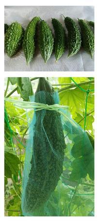 来年の種蒔き用に一番大きなゴーヤにはネット