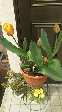 私のチューリップも咲き始めました!