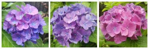 紫陽花が咲きましたo(*⌒―⌒*)o