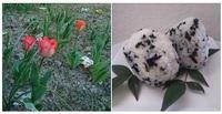 義父のチューリップも咲き始めました