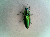 玉虫(たまむし)
