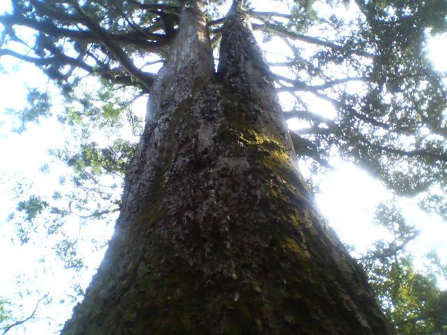樹齢700年だとさ