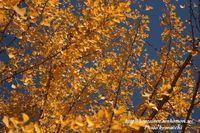 秋空に輝く銀杏