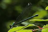 朝比奈川蜻蛉(あさひなかわとんぼ)