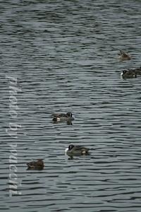 鴨池(小野市男池)の鴨