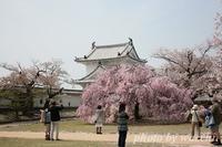 桜~姫路城西の丸~