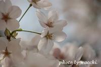 桜~姫路城三の丸~