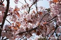 桜~姫路城中の門跡付近~