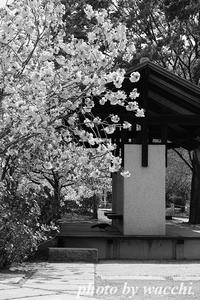 八重桜とカラス・・