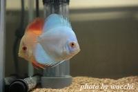熱帯魚の王道☆ディスカス