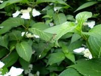 糸蜻蛉(いととんぼ)