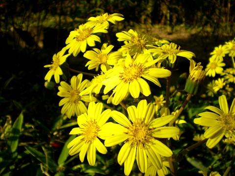 黄色いキク科の花