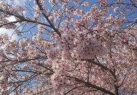 桜、さくら♪
