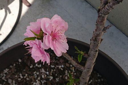 桃の木に桜?!