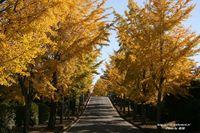 名古山の銀杏並木と紅葉(2008年)