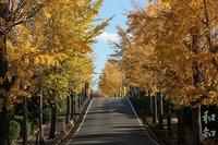 名古山の金色に輝く銀杏並木と紅葉