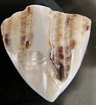 夜光貝のアクセサリー