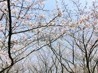caucau花見大会2012