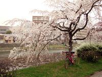 京都にお花見・・・