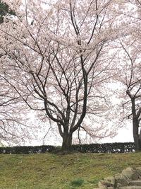 姫路城の桜色。