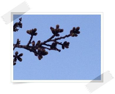 3/27 桜1