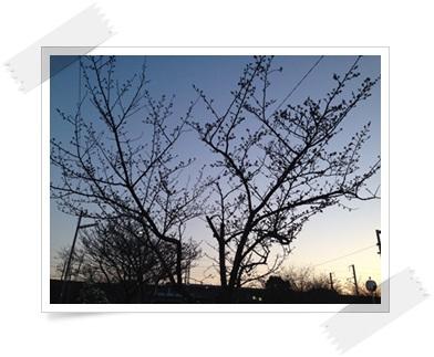 3/27 桜2