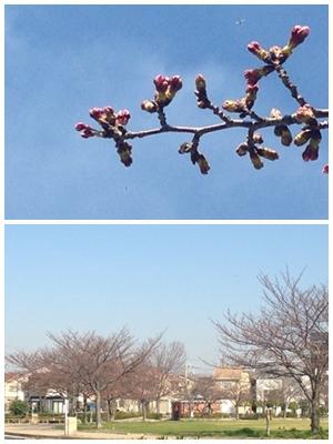 桜 3/28