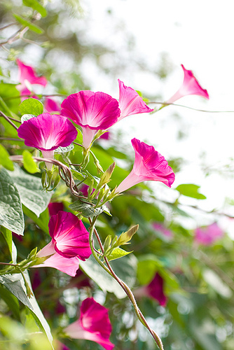 朝顔の花が咲く