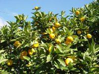 「永遠」の繁栄をもたらす果物