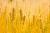 エネルギーの源となる黄金の麦