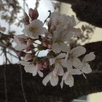 七十二候では桜始開・・・さくらはじめてひらく