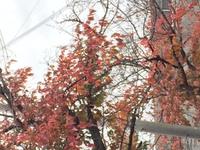 桜紅葉・・・さくらもみじ