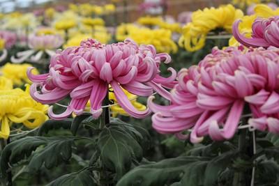 菊の花を愛でながら…。