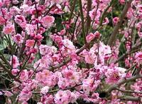 梅のシーズン・・・「春を忘るな」か「春な忘れそ」か???