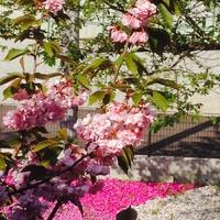 桜餅~~~