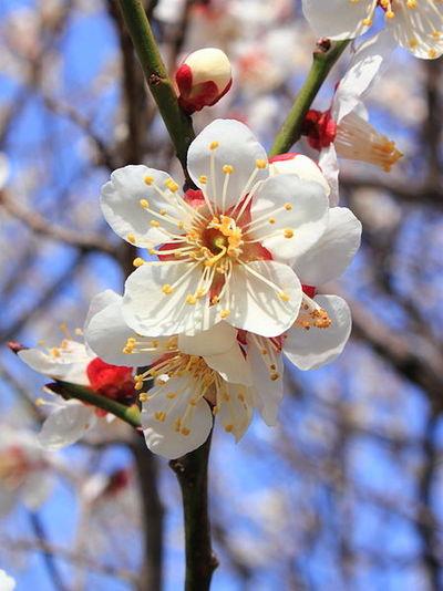 どこかで春が〜。東風(こち)