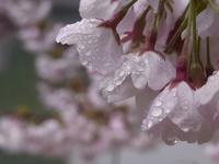 2017年春の京橋水辺の桜たち