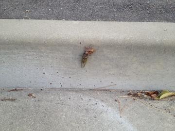 道路の縁石でせみが羽化
