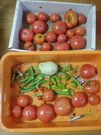 猛暑の中の野菜たち