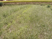 一面のネコジャラシ畑