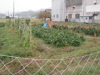 彼岸花と枝豆の畑