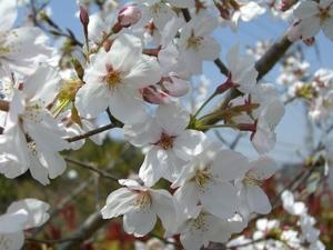 桜や桃や・・・