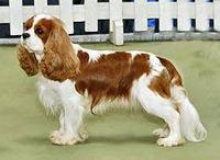 コッカースパニエルとミックス犬