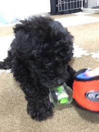 チワプー(クォーター)ミックス犬