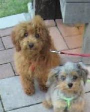 プードルとプードル系ミックス犬