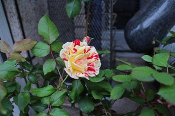 薔薇ジョージバーンズ 絞り模様のフロリバンダ