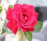 薔薇 イングリットバーグマン