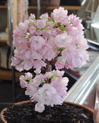桜の盆栽が満開