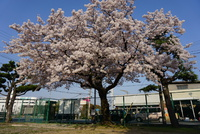 姫路 桜スポット 日本スピッツ ウエストハイランドホワイトテリア